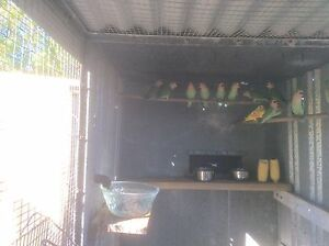 BABY PEACH FACE LOVEBIRDS Lynwood Canning Area Preview
