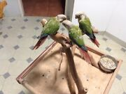 Handraised Indian ringnecks,conures and cockatiels ready now Tinana Fraser Coast Preview