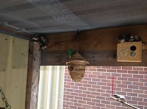 Zebra finches - young and mature East Fremantle Fremantle Area Preview
