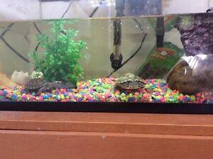 Map and eared slider turtle with tank