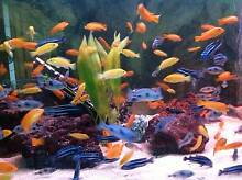 African Cichlids + you will receive bonus........................ Fairfield Fairfield Area Preview