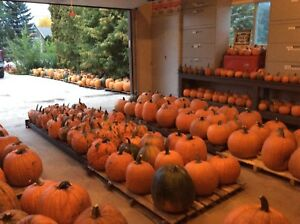 PUMPKINS ON PRITCHARD FARM ROAD/BEST PRICES AROUND THIS AREA