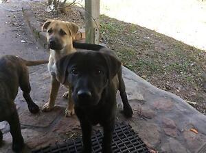 Puppy Maremma Abruzzese Childers Bundaberg Surrounds Preview