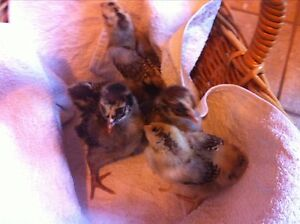 5x Two week old Barnevelder chicks Echunga Mount Barker Area Preview