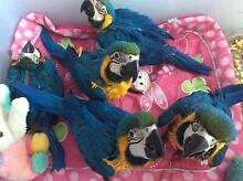 Hand raised baby blue and gold macaws Two Wells Mallala Area Preview