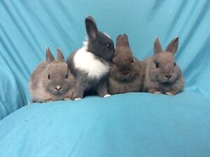 Netherland dwarf babies Capital Hill South Canberra Preview