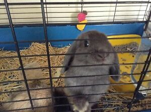 Female mini lop rabbits Mount Colah Hornsby Area Preview