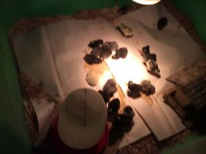 One day old chicks