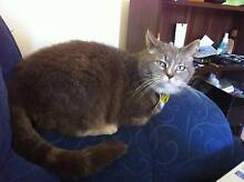 Missing Cat - Boronia Heights Qld Boronia Heights Logan Area Preview