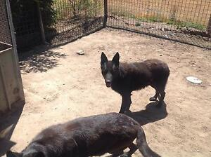 Male German Shepard free to good home very AGGRESIVE! Bacchus Marsh Moorabool Area Preview