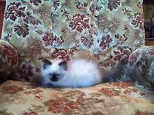 gorgeous purebred ragdoll kittens Sydney City Inner Sydney Preview
