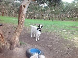 Female goat Strathalbyn Alexandrina Area Preview