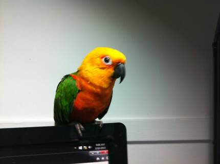 JENDAY CONURE; 4 YR OLD IN NOVEMBER WITH HUGE CAGE Wallsend Newcastle Area Preview