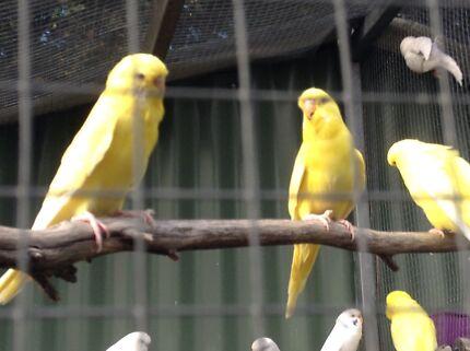 5 Lutino Budgies just $15 each bird