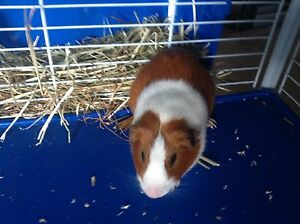 Male Guinea pig Kirwan Townsville Surrounds Preview