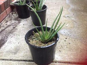 Aloe Vera plant Lynbrook Casey Area Preview