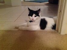 Found - Black and white male kitten High Wycombe Kalamunda Area Preview