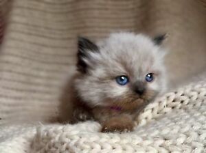 ❤️HIMALAYAN KITTENS READY IN 3 WEEKS ALL FEMALE