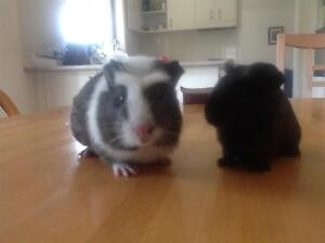 Two beautiful female guinea pigs Springwood Blue Mountains Preview
