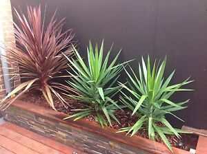 yucca and cordyline Cheltenham Kingston Area Preview