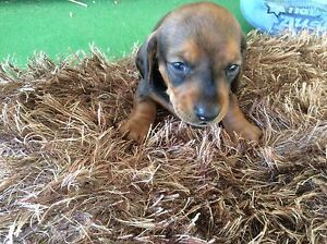 AMAZING LITTLE MINATURE  BOY DACHSHUND Gympie Gympie Area Preview