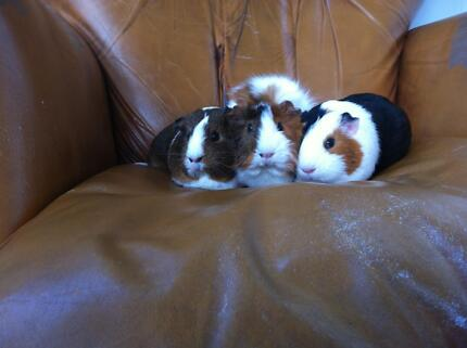 Beautiful female guinea pigs available for adoption Randwick Eastern Suburbs Preview