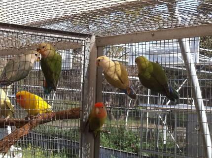 LOVEBIRDS FOR SALE ****CALL O**** Baldivis Rockingham Area Preview