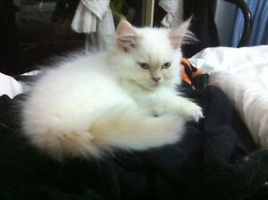 Persian Colour Point Kittens Elimbah Caboolture Area Preview