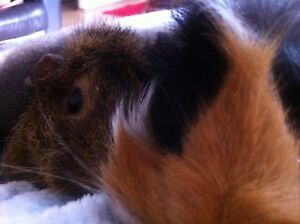 Guinea pigs and hutch. Bicton Melville Area Preview