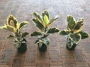 Variegated Ficus Rubber Plants