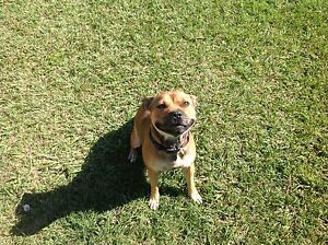Pure bred female English staffy Morayfield Caboolture Area Preview