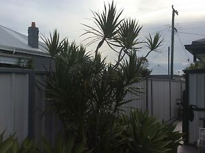 Dracena Plants for sale Stockton Newcastle Area Preview