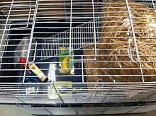 RABBIT STARTER PACK FOR $145 Jamisontown Penrith Area Preview