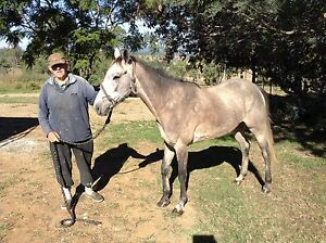 Grey filly, 3 years old, Standardbred Pacer Munbilla Ipswich South Preview