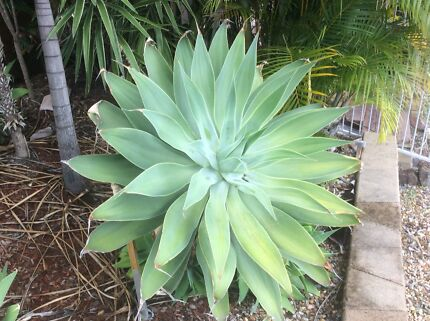 Large Agave, 1.2 m across. Smaller ones available as well