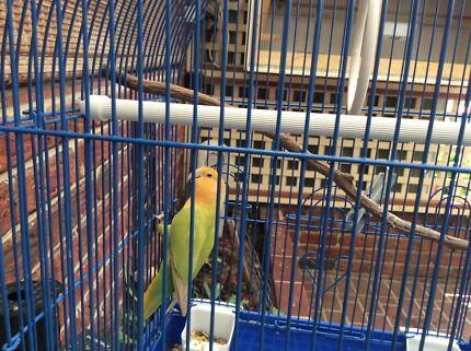 Female orange head Lovebird