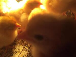 Baby chicks for sale!! Carramar Wanneroo Area Preview