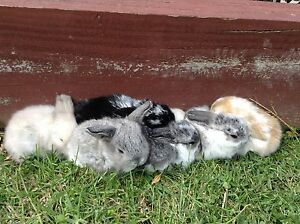 Mini Lop Bunnies Point Cook Wyndham Area Preview