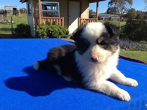 Purebred Long Haired Border Collie Tri Colour Male Puppy Niangala Walcha Area Preview