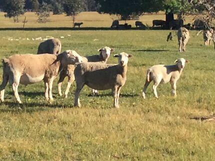Dorper lambs and sheep