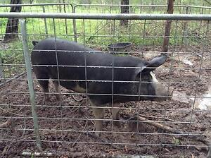 Pig - Berkshire young boar Tully bred Koumala Mackay Surrounds Preview