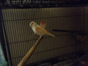 20 Canaries  for sale