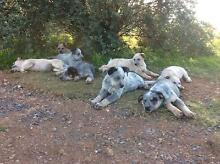 Cattle Dog Puppies for Sale Canowindra Cabonne Area Preview