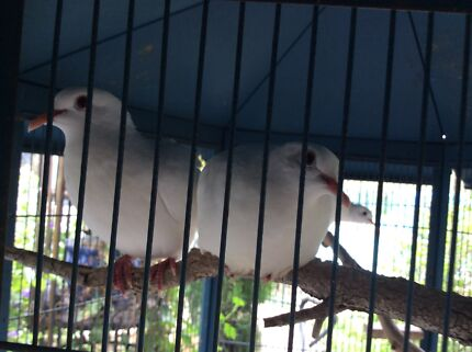 White peace doves x 3