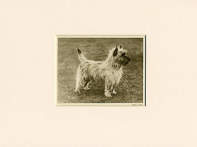 CAIRN TERRIER ORIGINAL VINTAGE 1931 DOG PRINT MOUNTED READY TO FRAME