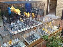 Female and Male Canaries for Sale. Earlwood Canterbury Area Preview