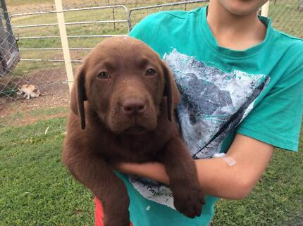 Purebred Registered Labrador Puppies chocolate and black Gympie Gympie Area Preview