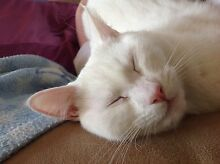 Timid female blue eyed white cat needing a new home. Ellen Grove Brisbane South West Preview