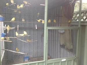 Canaries for sale Lambton Newcastle Area Preview