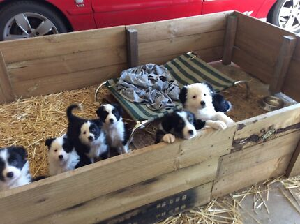 Border Collie Puppies Smythesdale Golden Plains Preview